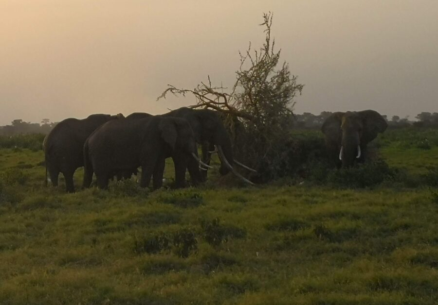 "The ""Tusker"" elephant"